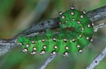Emperor Moth caterpillar ©Laurie Campbell SNH