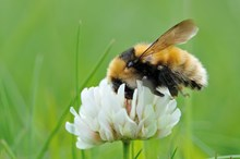 Great yellow bumblebee ©Lorne Gill/SNH
