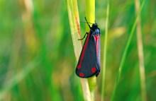 Cinnabar moth © Lorne Gill SNH
