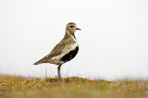 Golden plover ©Lorne Gill/NatureScot