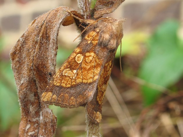 Moth numbers decline by 46%: Frosted Orange ©Mark Parsons