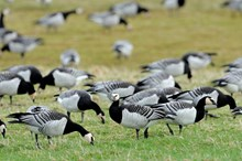 BarnacleGeese-D3334 - credit SNH-Lorne Gill
