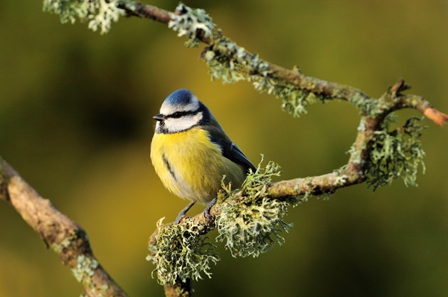 Why it's all or nothing for blue tits in spring: BlueTit-D0104 - copyright SNH-Lorne Gill