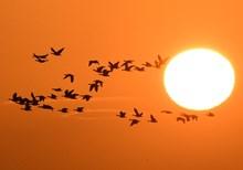 Geese at sunrise ©Steve Buckland