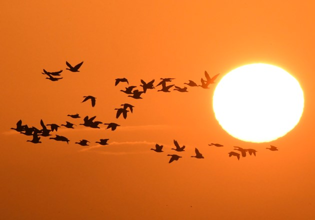 Autumnwatch comes to Tentsmuir and the Isle of May: Geese at sunrise ©Steve Buckland