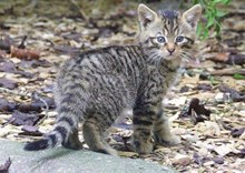 scottish-wildcat-kitten-scottish-wildcat-action