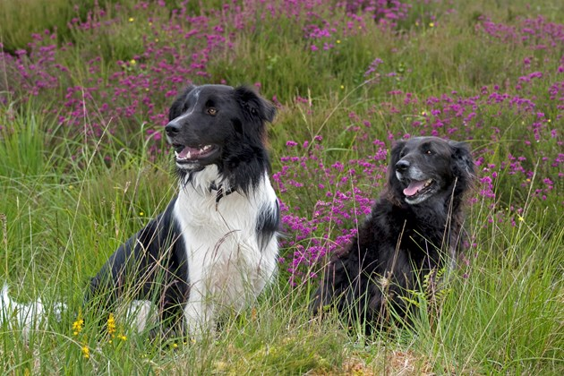 Campaign offers advice for dog owners around livestock: © Scottish Viewpoint