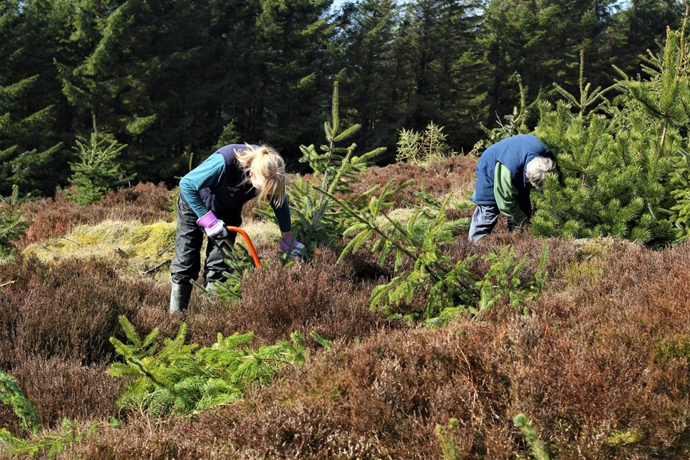 Volunteers with Radnorshire Wildlife Trust removing non-native trees as part of the Black Grouse Recovery Project