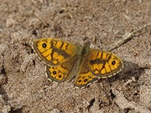 Tentsmuir National Nature Reserve - wall butterfly - credit NatureScot-Esther Whitford (2)