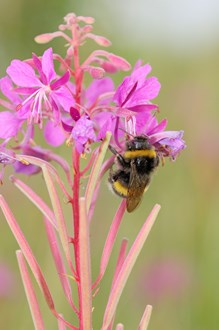 Bumble Bee feeding on Rosebay Willow Herb flower heads.©Lorne Gill
