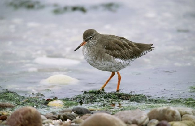 Scotland's wintering wading birds could be losers in climate change: Redshank