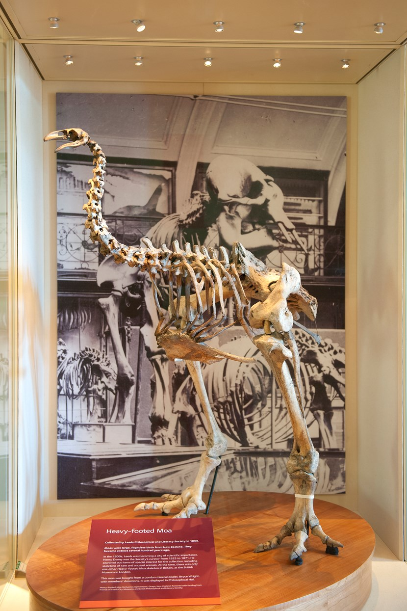 Leeds Museums and Galleries object of the week- The Heavy-footed Moa: lcm0094.jpg