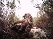 Heads up for Harriers - nest camera