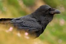 Raven-D0030
