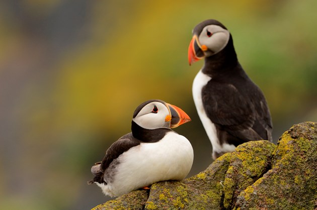 Puffin on Isle of May ©Lorne Gill/NatureScot