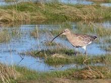 BCF Eurasian Curlew - Adult foraging in coastal pools - Aberlady Bay