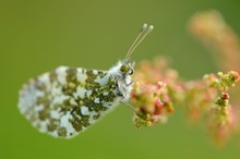 Orange-tip butterfly ©Lorne Gill/NatureScot