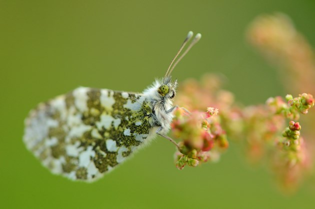 Butterflies on the increase: Orange-tip butterfly ©Lorne Gill/NatureScot