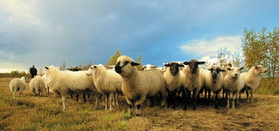 New police report highlights the barriers to tackling attacks on livestock: sheep report