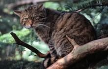 Captive wildcat, credit SNH/Lorne Gill