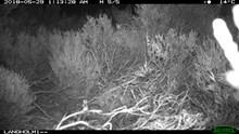 Fox hidden behind hen harrier nest