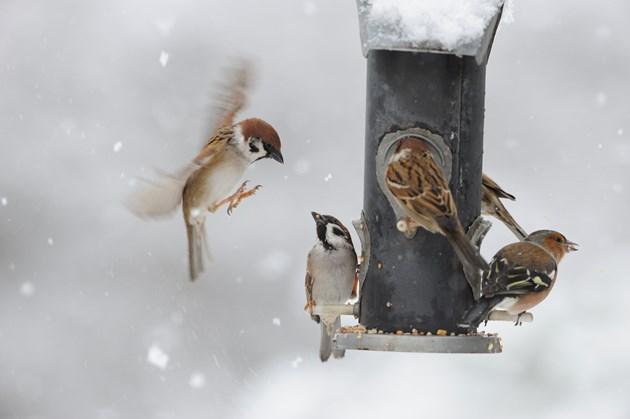'Beast from the East' impact on woodland birds: Garden birds feeding ©Lorne Gill SNH