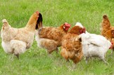 Agriculture-farming-livestock-hens-chickens: iStock - File #19712266 - Chickens graze on grass - 02-10-2013