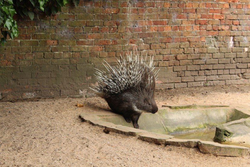 Lotherton's porcupine rescue proves where there's a quill, there's a way: porcupine1-788962.jpg