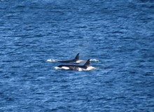 Killer Whales at the Isle of May: Killer whales spotted from the Isle of May on 28 May 2015.