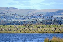 LochLevenNNR-pink footed geese - credit Lorne Gill-SNH