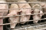 Saving Scotland's bacon: Agriculture-farming-livestock-pigs