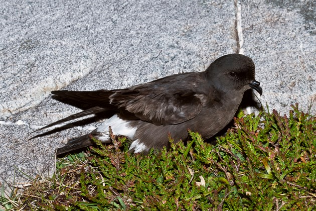 Storm petrels breeding on Isle of May: Storm Petrel ©Ian Fisher