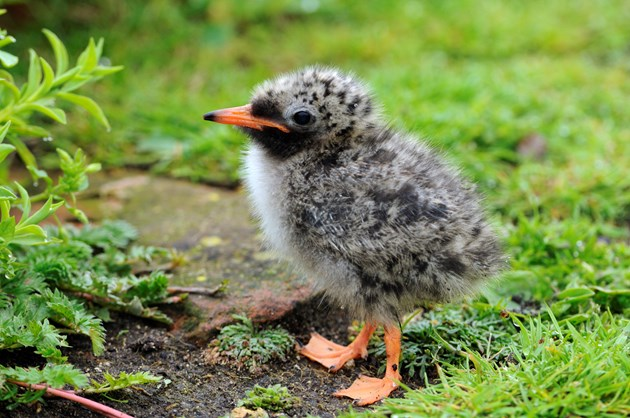 Mink project Tern chick