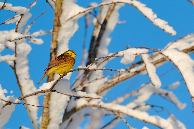 Help wildlife this winter – be a lazy gardener: Yellowhammer-D3335 - altered