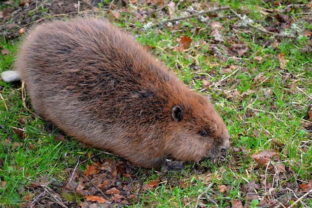 Beaver in Perthshire - Credit Neil Mitchell-NatureScot